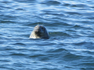 Unknown to this seal, a great white shark was in these waters ten years ago.