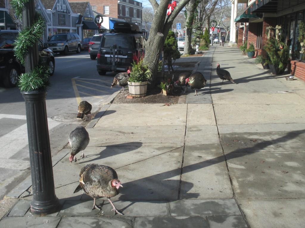 Turkeys on Main Street