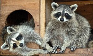 Two juvenile raccoons at Cape Wildlife Center. PHOTO BY HEATHER FONE.