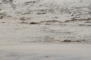 Camouflage - Find the piping plover.