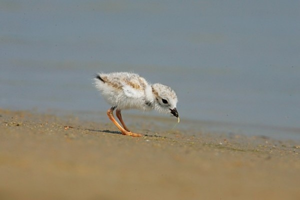 Piping Plover Chick feeding PHOTO CREDIT: JON VAN DE GRAAFF
