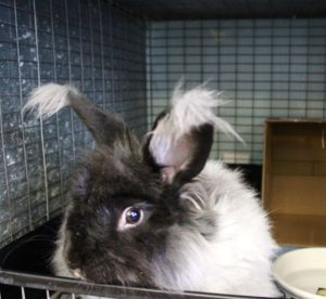Among the recent animals waiting for adoption are six angora rabbits.