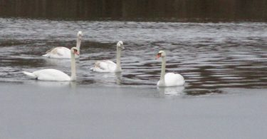 Ice-Breaking Swans