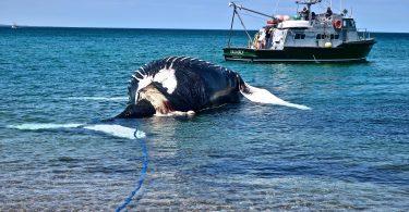 Whale's Tale, A Stranding On East Sandwich Beach