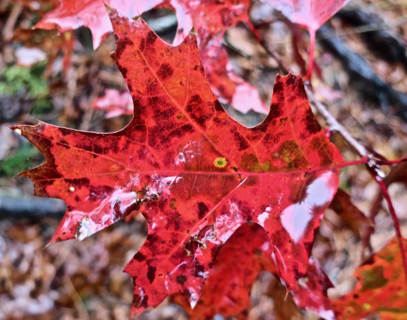 Fall leaves close-up